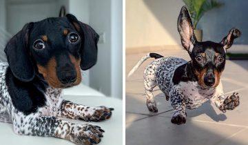 Пёс по кличке Му родился с таким окрасом, что люди думают, что он носит костюм