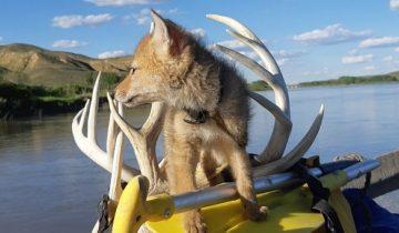 Канадец спас тонувшего койота. И 10 дней плавал с самым великолепным спутником