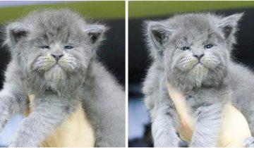 Милые, но очень суровые котята родились у мейн-куна