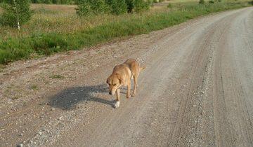 Возвращение. Брошенный хозяевами пёс долго искал дорогу домой