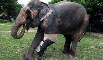 Животные, которые смогли выжить благодаря протезам: трогательное видео