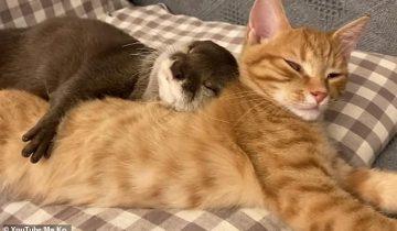 Трогательное видео: выдра и кошка мило спят в обнимку