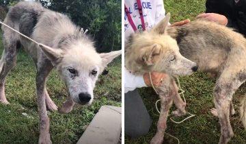 Волонтёры спасли пса, 2 года сидевшего на цепи, и показали, каким красавцем он стал