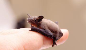 Редкие фото самой крошечной летучей мыши, длина которой около трех сантиметров