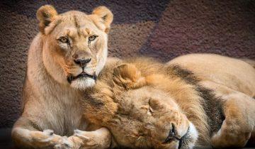Любовь навсегда: люди помогли пожилой паре львов вместе уйти на радугу