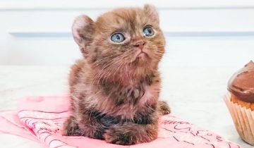 Котёнок с больными лапками и медвежьими ушками попал в добрую семью!