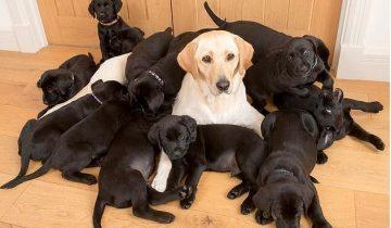 Мама золотистый лабрадор, а все 13 щенков — черненькие!