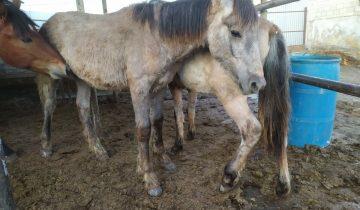 Каждый день тысячи лошадей попадают на бойни…