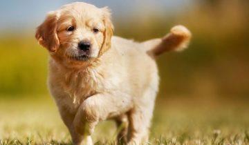 Ученые выяснили, как все-таки стерилизация влияет на здоровье наших собак