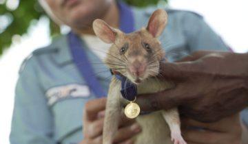 Первый раз в истории высшую награду Великобритании получила… героическая крыса!