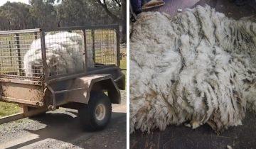 Люди спасли спутанное лохматое чудовище. Им пришлось состричь 20 кг шерсти