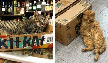 12 котов-продавцов, которые поселились в магазинах и чувствуют там отлично