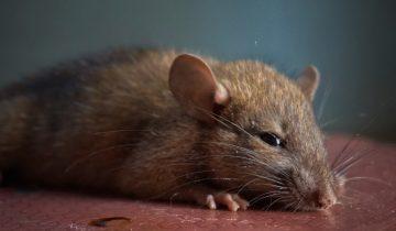 Размер настоящей дружбе не помеха: овчарка и мышка любят друг друга