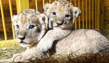 В городе Приморье овчарка стала мамой для брошенных львят
