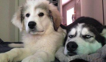 12 собак, которые совсем не рады своим младшим братьям и сестрам