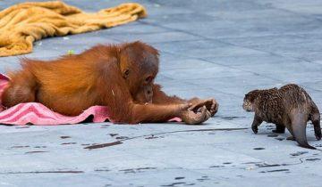 Необычная дружба: как орангутанги стали друзьями выдр