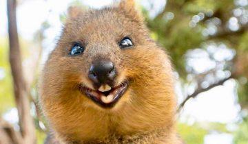 Квокки — самые улыбающиеся и симпатичные животные