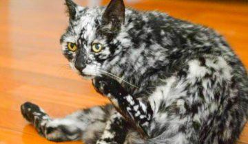 История Лоскутка — котика с необычным мраморным окрасом