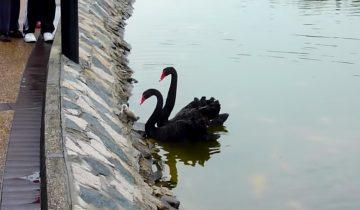 Поддержка родителей: пара лебедей уговаривают птенца спуститься на воду