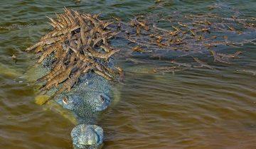 Фото папы-крокодила, который катает на спине 100 деток, покорило весь мир