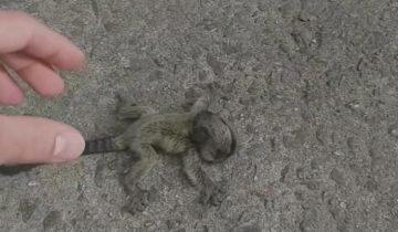 Бразилец спас жизнь крошечной игрунке и передал матери