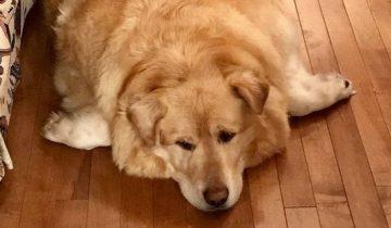 «Он слишком толстый»: владелец раскормил собаку и решил ее усыпить