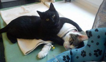 Кота вытащили с того света — теперь он живет в клинике и помогает другим животным