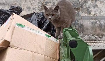 Из мусорного бака на нас смотрели два янтарных глаза. Британская кошка искала еду в мусоре