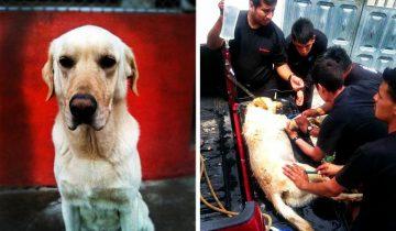 Этот пёс, не зная отдыха, спасал людей под завалами. История лабрадора Дайко