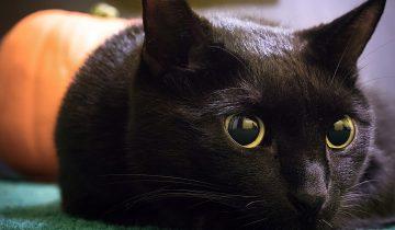 Некобияка — единственное в мире кафе только с кошками черного цвета