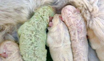 В Италии родился щенок с зелёной шерстью. И это удивило не только хозяина, но и сеть
