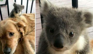 Песик виновато смотрел на хозяйку… А к его шерстке тесно прижималась коала!