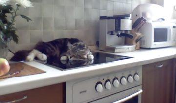 Не кантовать: кот недоволен тем, что его заставляют уйти с плиты