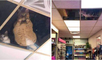 Котам, которые жили на чердаке магазина, хозяин сделал стеклянный потолок