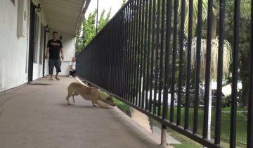 Бездомный песик боялся спасателей. Он был готов прыгнуть с балкона, чтобы убежать от них