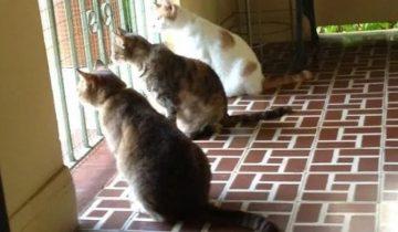 «Ждун обыкновенный» — 14 фотографий котиков, которые очень ждут хозяев с работы