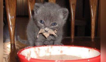 10 фото, доказывающих, что котята не умеют аккуратно есть