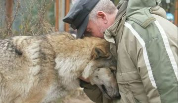 Волчица пришла просить еду и лесник ее пожалел. Через два месяца к нему пришли три волка