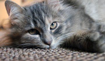Почему взрослым котам нельзя давать молоко и другие вопросы кошатников