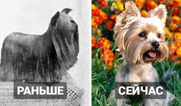 15 сравнений того, какими породы собак были 100 лет назад, и как они выглядят в наше время