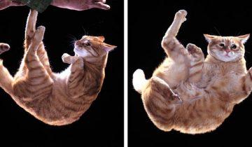 Ученые объяснили, как у кошек получается всегда приземляться на лапы