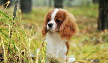10 пород собак, за которые не жаль отдать 10 тысяч долларов
