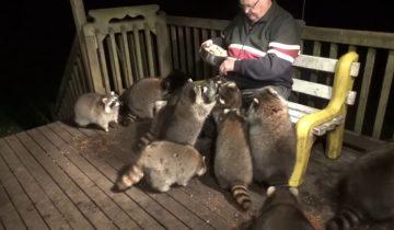 Этот дедушка уже 20 лет по ночам кормит диких енотов фаст-фудом, ведь он это обещал своей жене