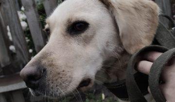 Собачье сердце разбивали дважды, и красотка Мая до сих пор ждёт…