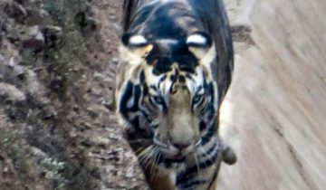 Редкий черный тигр попал в объектив фотографа в Индии