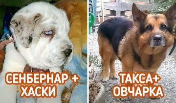 14 собак-метисов, которые своей красотой затмят собратьев чистой крови