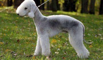 Самые редкие собаки в мире: топ 10 удивительных пород