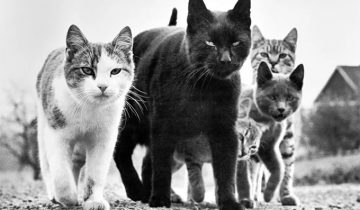 Знаменитые фото кошек 1950-80-х гг. Фотограф Уолтер Чандоха