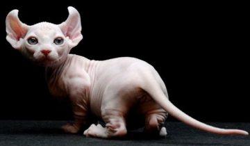 Вечный котенок – 5 самых миниатюрных пород кошек