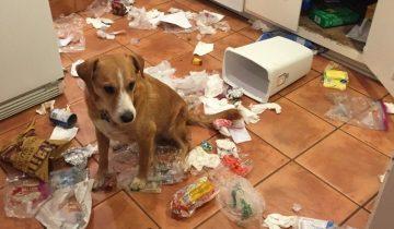 «Виноват — исправлюсь!» — собачки, которым стыдно за содеянное